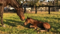 By two champions, More Than Ready x Black Caviar