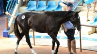 Awesome Pluck as a yearling in the Inglis Classic Sale ring