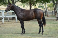 Enzo's Lad as a yearling for Eliza Par