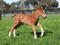 Star Turn first foals - 2018