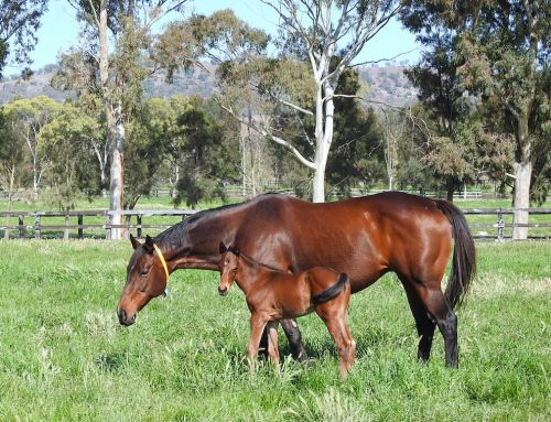 VINERY ADOPTS LIVE FOAL PAYMENT